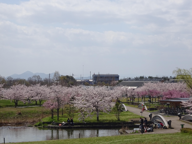 県大桜景色6