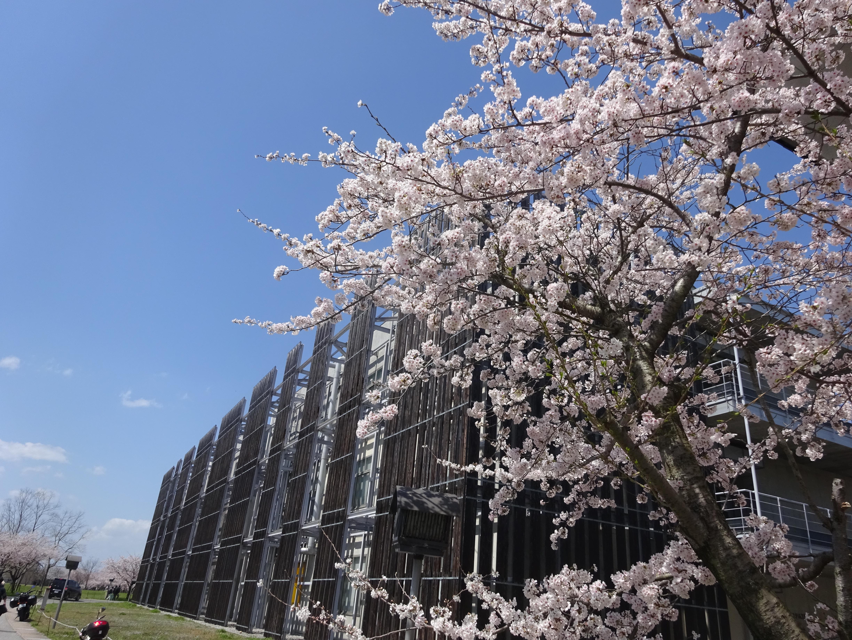 県大桜景色4