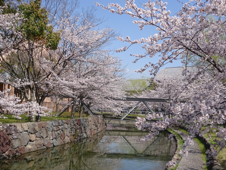 県大桜景色5