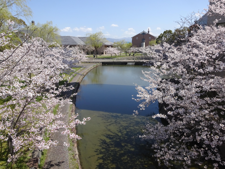 県大桜景色7