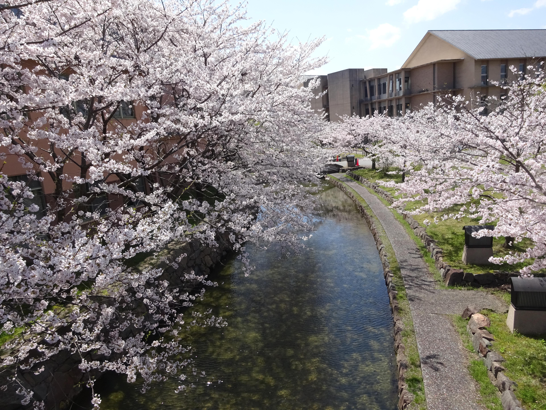 県大桜景色2